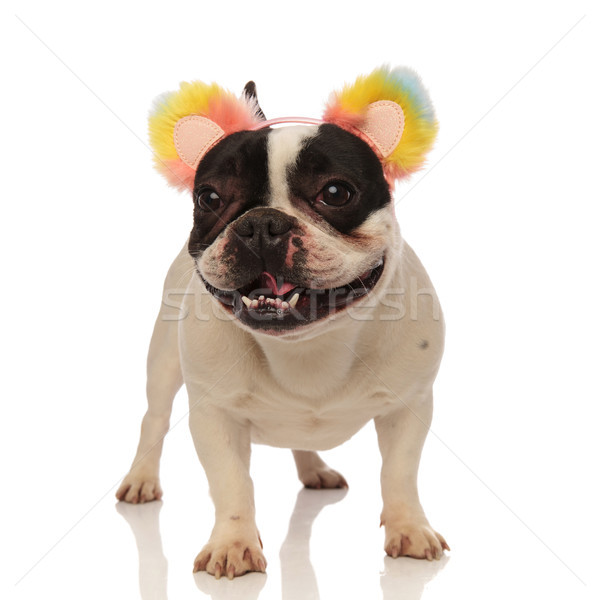playful french bulldog with colored headband looks to side Stock photo © feedough