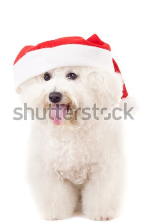 sleeppy westie wearing santa cap Stock photo © feedough