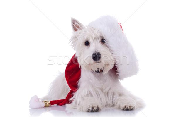 Stok fotoğraf: Beyaz · köpek · yavrusu · noel · baba · kostüm · mutlu