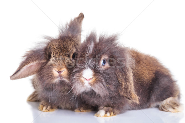 lion head rabbit bunnys lying down on studio background. Stock photo © feedough
