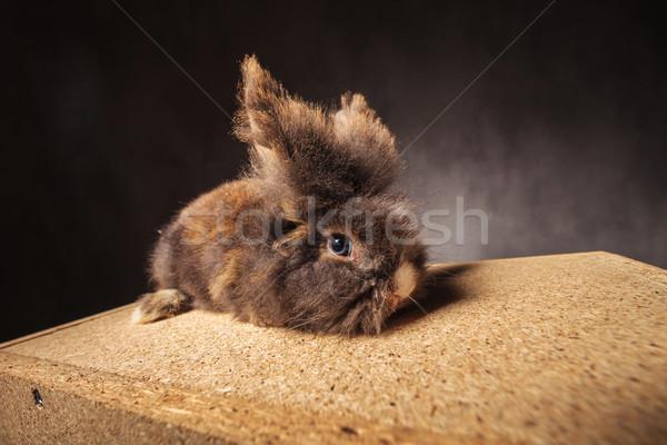 Furry lion head rabbit bunny lying on a wood box Stock photo © feedough