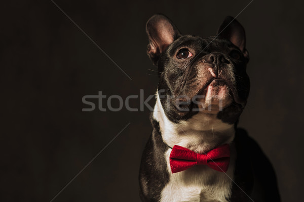 Stock photo: closeup picture of a french bulldog  looking away