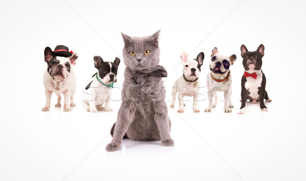 british shorthair cat  leading a group of french bulldogs Stock photo © feedough