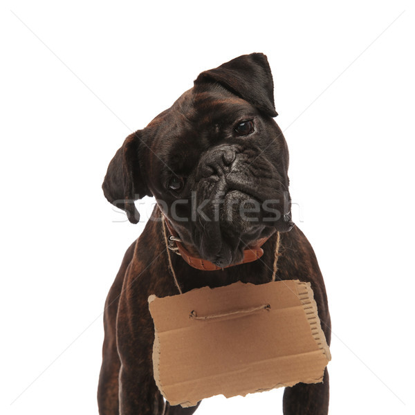 curious black boxer with carton sign around neck Stock photo © feedough