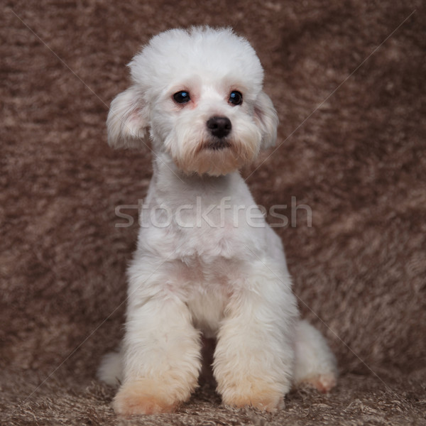 cute white bichon on fur background looks to side Stock photo © feedough