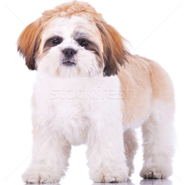 standing shih tzu Stock photo © feedough