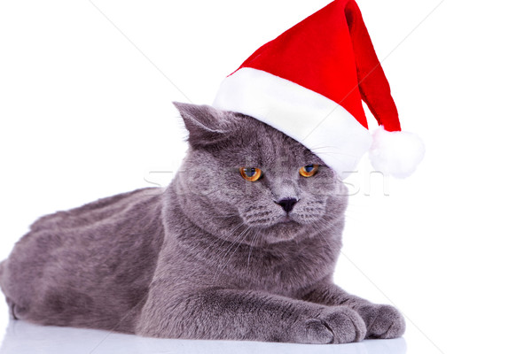big english cat wearing a santa hat  Stock photo © feedough
