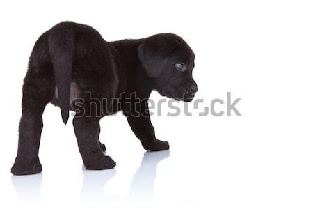Maakt een reservekopie zwarte labrador retriever kant witte lab Stockfoto © feedough