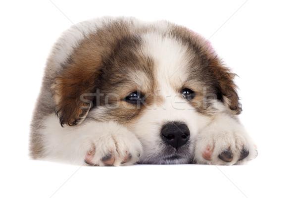 álmos kép kutyakölyök áll fehér háttér Stock fotó © feedough