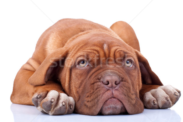 tired and cute dogue bordeaux  Stock photo © feedough