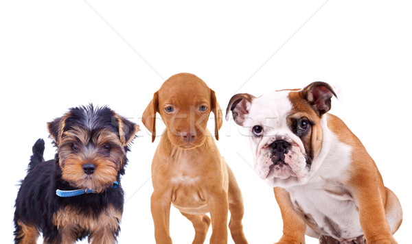 three cute curious puppies are looking at the camera Stock photo © feedough