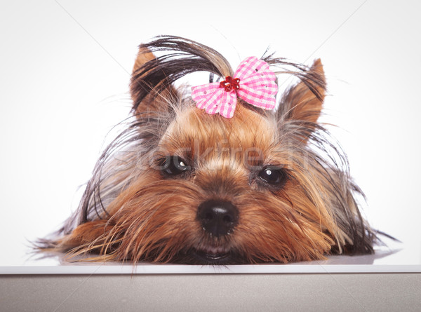 sleepy little yorkshire terrier puppy dog is lying down  Stock photo © feedough