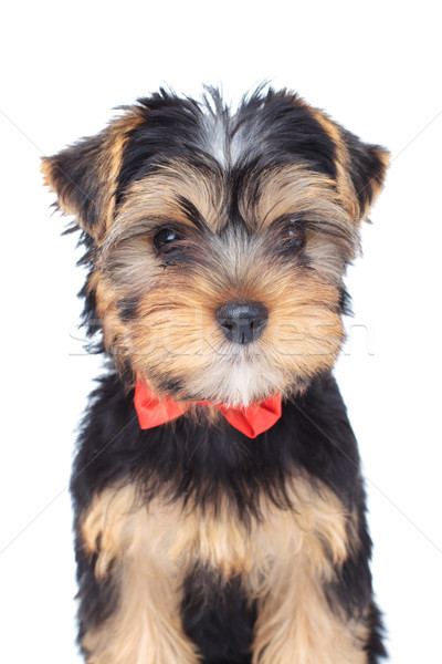 Adorable yorkshire terrier cachorro perro Foto stock © feedough