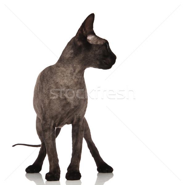 Singolare piccolo grigio cat piedi Foto d'archivio © feedough