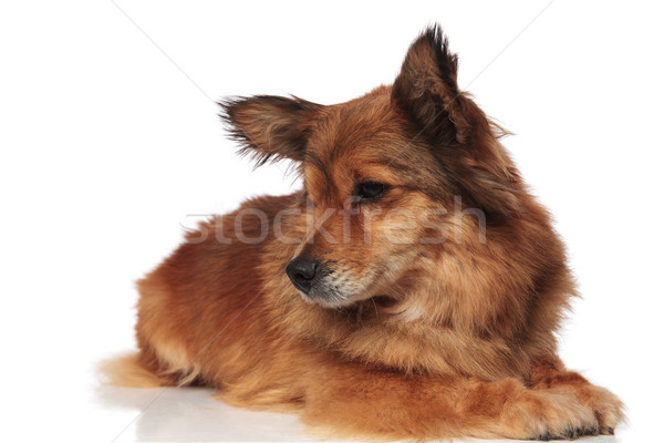 cute lying brown metis dog looks down to side Stock photo © feedough