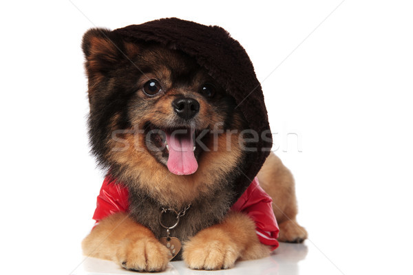 panting pomeranian with red jacket and hoodie on head lying Stock photo © feedough