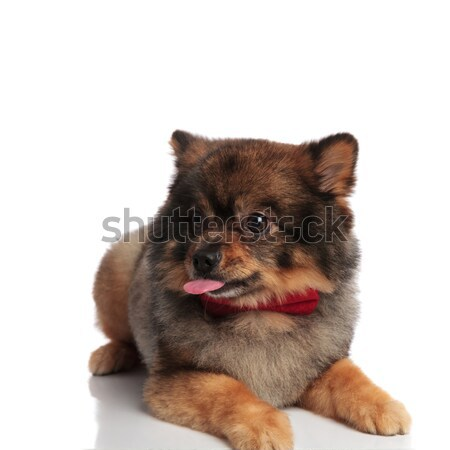curious pomeranian with red bowtie lying and looking to side Stock photo © feedough
