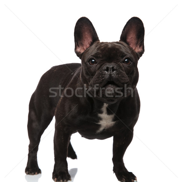 lovely french bulldog standing and looking surprised Stock photo © feedough