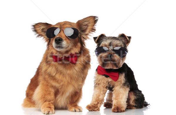 Zarif köpek çift terriyer kırmızı Stok fotoğraf © feedough
