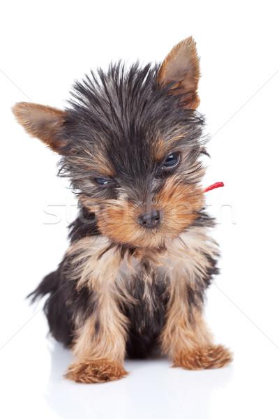 Foto stock: Sonolento · brinquedo · branco · cão · cachorro