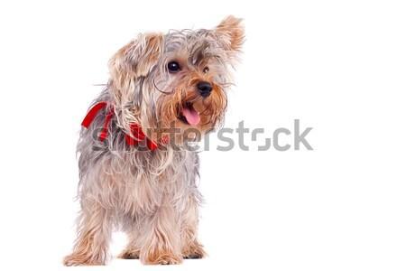 Zihálás kicsi Yorkshire terrier kép áll Stock fotó © feedough