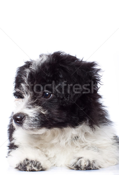 Curious havanese bichon looking Stock photo © feedough
