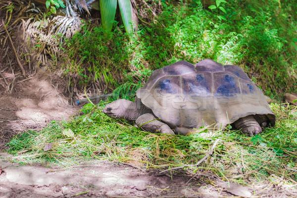 óriás Seychelle-szigetek etetés fű erdő Afrika Stock fotó © feedough