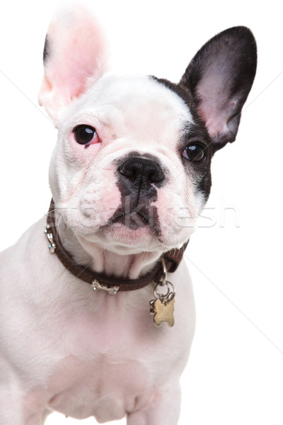 closeup picture of a cute french bulldog puppy Stock photo © feedough