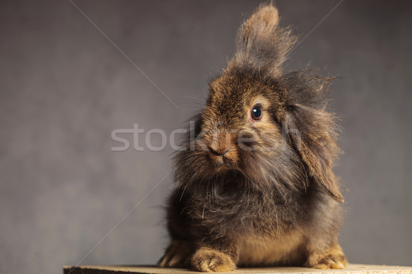Furry brown lion head rabbit bunny sitting Stock photo © feedough