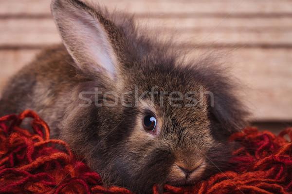 Foto stock: Adorable · marrón · león · cabeza · conejo · vacaciones