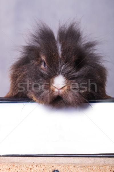 Furry lion head rabbit bunny sitting on a book Stock photo © feedough