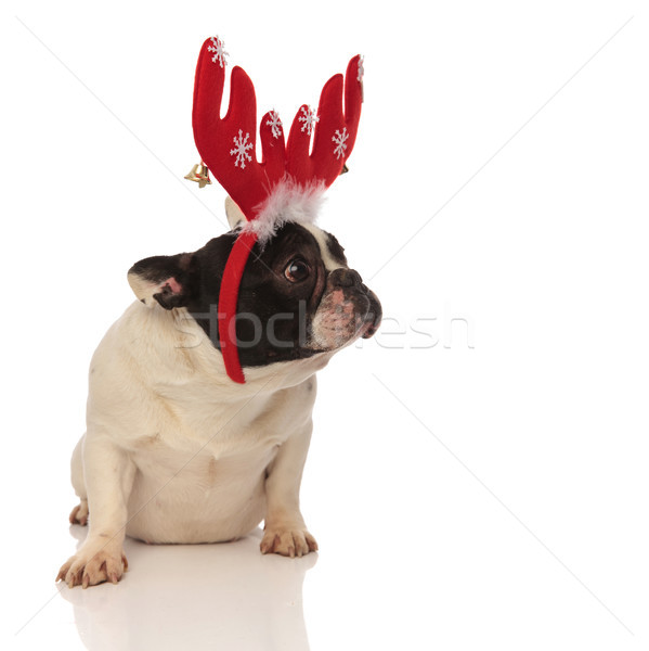 sad little french bulldog wearing christmas antlers Stock photo © feedough