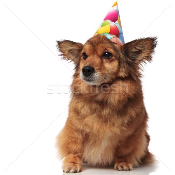 Foto stock: Curioso · marrón · sentado · perro · cumpleanos · sombrero