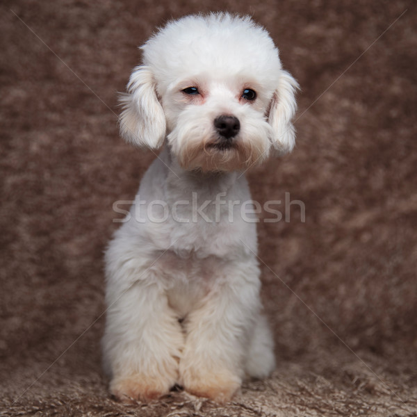 seated white furry bichon looking to side Stock photo © feedough