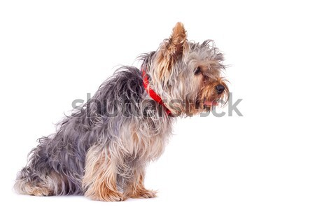 Foto stock: Curioso · yorkshire · terrier · vista · lateral · blanco · pelo