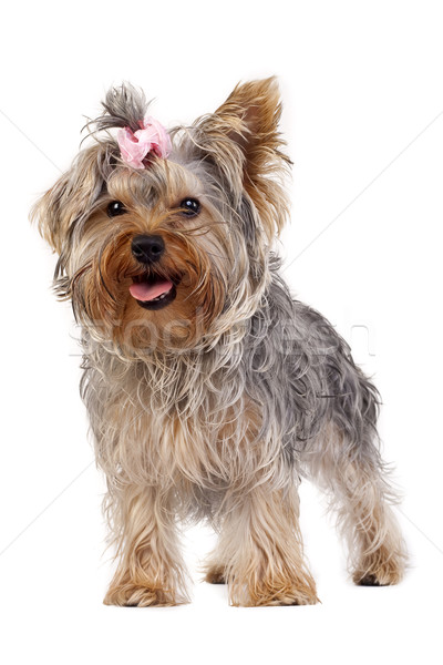 Yorkshire terrier cachorro pie hasta blanco Foto stock © feedough