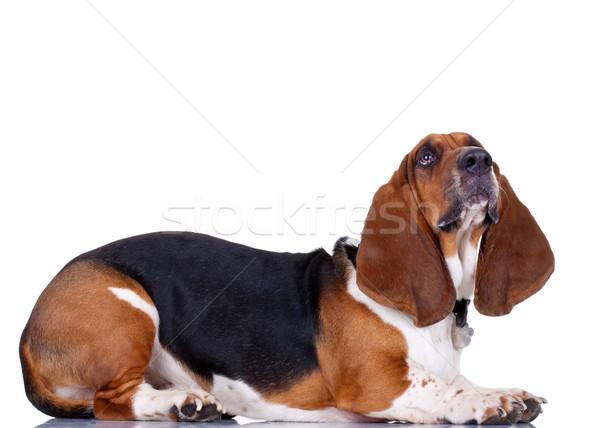 Ogar biały widok z boku psa portret cute Zdjęcia stock © feedough