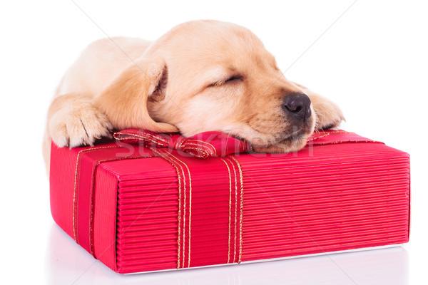 Küçük labrador retriever uyku kırmızı sunmak kutu Stok fotoğraf © feedough