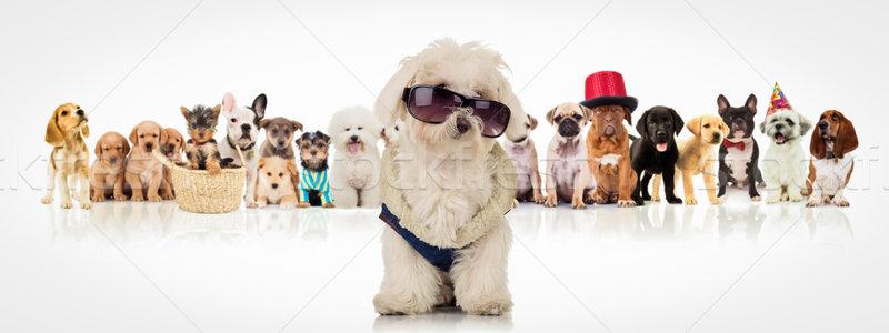Сток-фото: Солнцезащитные · очки · сидят · собаки · Cute · белый
