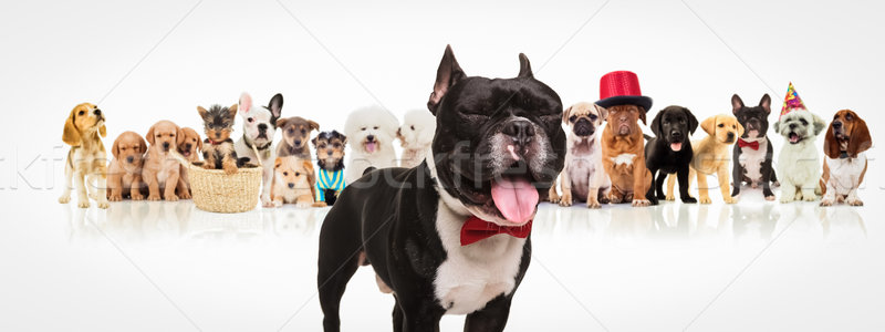 french bulldog  sticking out tongue in front of dogs pack Stock photo © feedough