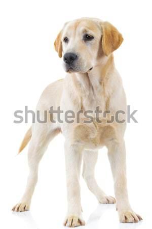 Permanente labrador retriever hond camera witte Stockfoto © feedough