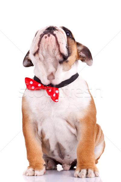english bulldog puppy looking up Stock photo © feedough