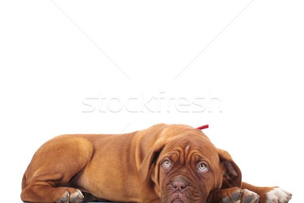 cute french mastiff lies down Stock photo © feedough