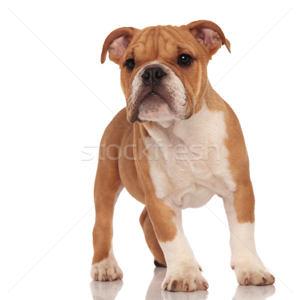 curious little brown english bulldog puppy dog standing Stock photo © feedough