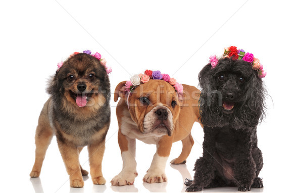 cute puppy friends wearing flowers headband in the spring Stock photo © feedough