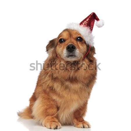 adorable seated brown dog with santa cap ready for Christmas Stock photo © feedough