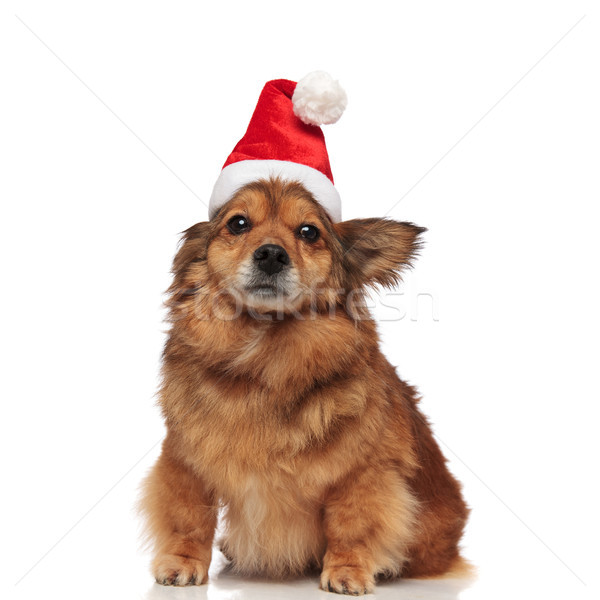 seated brown dog with christmas hat covering one ear Stock photo © feedough