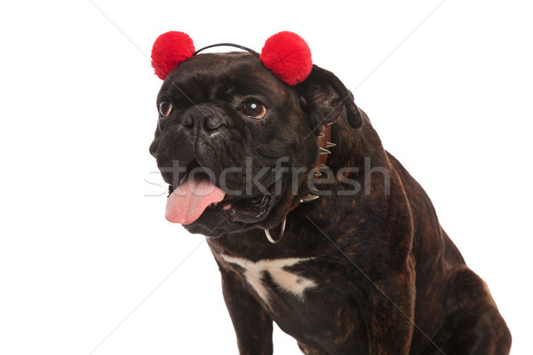 cute boxer with red earmuffs panting and looking to side Stock photo © feedough