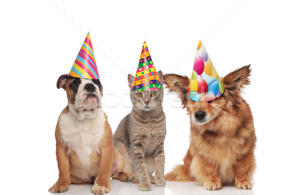 english bulldog, british fold and metis dog wearing birthday hat Stock photo © feedough