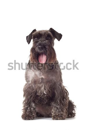 schnauzer puppy sitting Stock photo © feedough